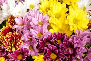 хризантемы доставка на кипре